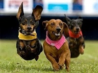 wiener-dog-race2 - h150.jpg